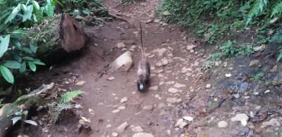 Un coati dans le parc du volcan Tenorio - Costa Rica