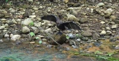 Un cormoran aux ailes déployées dans le parc du volcan Tenorio - Costa Rica