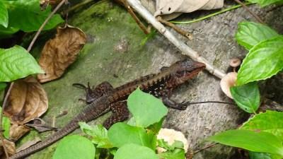 Un lézard - parc de Cahuita (Costa Rica)