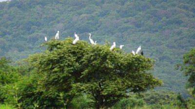 Rassemblement d'aigrettes dans les arbres - Parc de Palo Verde (Costa Rica)