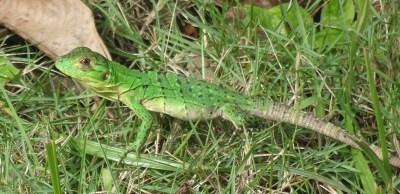 Un lézard vert dans notre jardin d'El Roble - Costa Rica