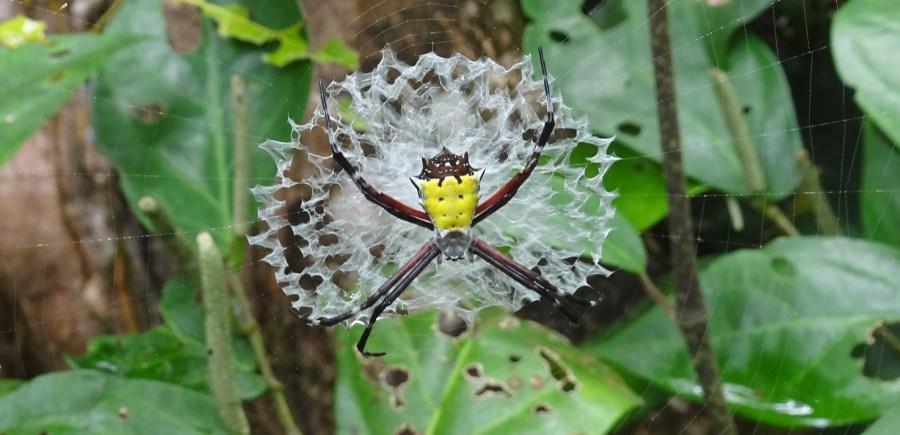 Une araignée argiope - parc de Cahuita (Costa Rica)