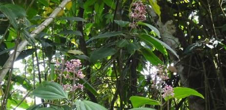 Fleurs sauvages du parc Arenal - Costa Rica