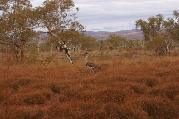 Une outarde dans le parc de Karijini - Ouest australien