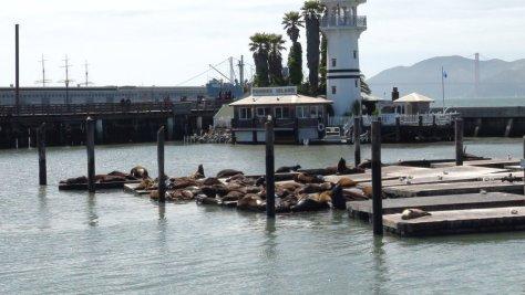 Les lions de mer du  Fisherman's Wharf - San Francisco - Californie (USA)