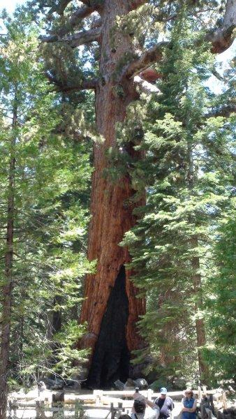 Le Grizzly Giant : 2400 ans, 63m de haut, 28m de circonférence - Yosemite NP