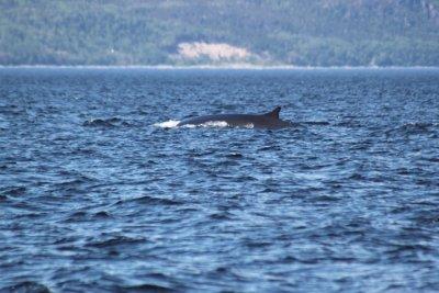 Les baleines en zodiac - Tadoussac (Québec)