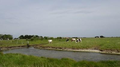 Des vaches dans les marais du Pays de Retz
