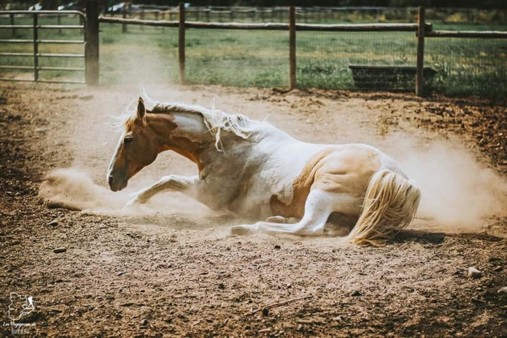Animal blessé lors du Stampede de Calgary dans notre article Le Stampede de Calgary : Visiter Calgary au Canada pendant le grand rodéo #stampede #rodeo #calgary #alberta #canada #festival