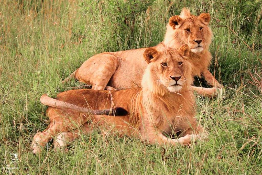 Lions lors d'un safari en Tanzanie dans notre article Safari au Kenya et en Tanzanie : comment l'organiser et s'y préparer #kenya #tanzanie #safari #afrique #voyage