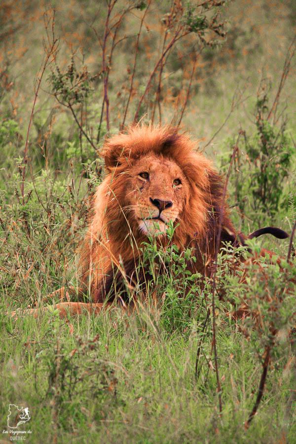 Lion dans un safari au Kenya dans notre article Safari au Kenya et en Tanzanie : comment l'organiser et s'y préparer #kenya #tanzanie #safari #afrique #voyage