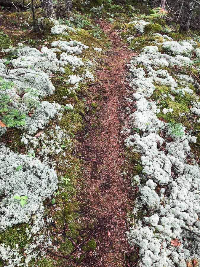 Mousse au sol sur le Sentier national dans Lanaudière dans Lanaudière dans notre article Randonnée dans Lanaudière : 100 km sur le sentier national (sentier de la Matawinie) #randonnee #lanaudiere #matawinie #sentiernational #quebec #canada