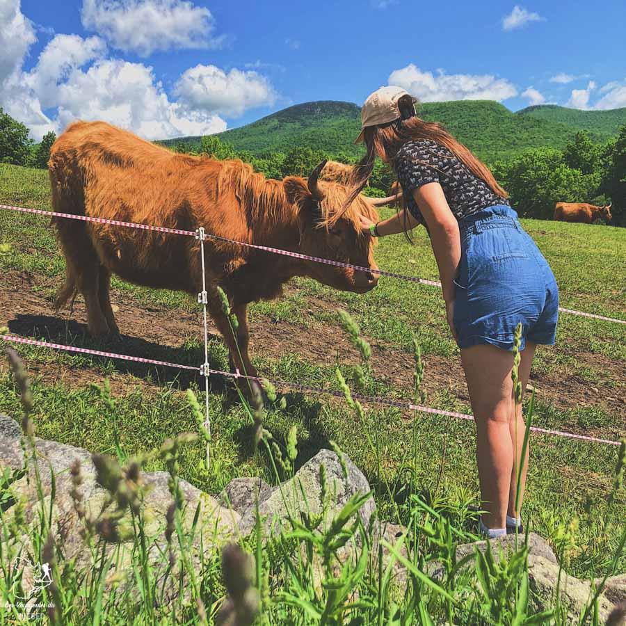 Vache Highland au Diable vert à Sutton dans notre article La randonnée au Québec : 8 randonnées pédestres au Québec testées et approuvées #randonnee #randonneepedestre #quebec #canada