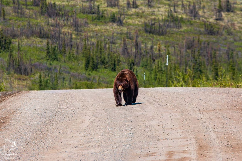 Ours sur la Dempster Highway lors d'un voyage au Yukon dans notre article Mon road trip au Yukon au Canada : 12 jours de liberté en truck camper au gré du vent #yukon #canada #roadtrip #voyage