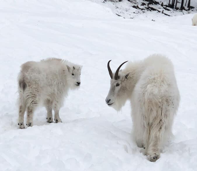 Visite de la réserve faunique à Whitehorse dans notre article Visiter le Yukon en hiver : quoi faire au Yukon durant la saison hivernale #yukon #hiver #canada #voyage