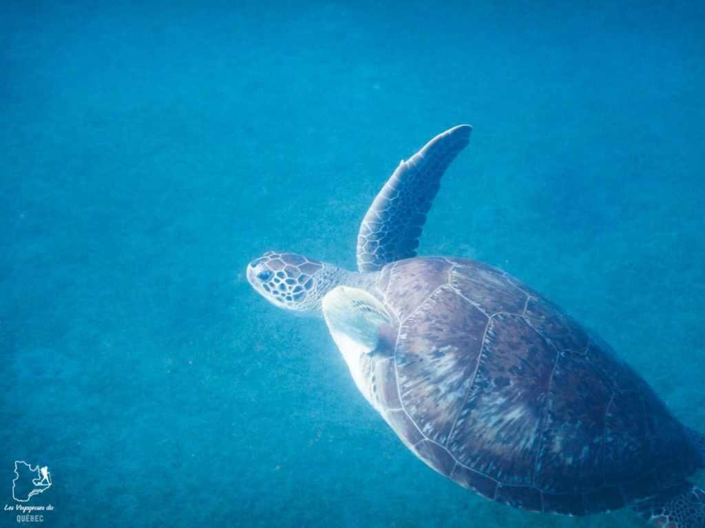 Nager avec les tortues à l'Anse Dufour en Martinique dans notre article Que faire en Martinique : 10 incontournables à visiter sur l'île aux fleurs #martinique #france #caraibes #antilles #amerique #voyage #ile