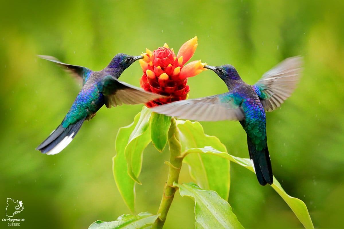 Colibris des Jardins de Balata en Martinique dans notre article Que faire en Martinique : 10 incontournables à visiter sur l'île aux fleurs #martinique #france #caraibes #antilles #amerique #voyage #ile
