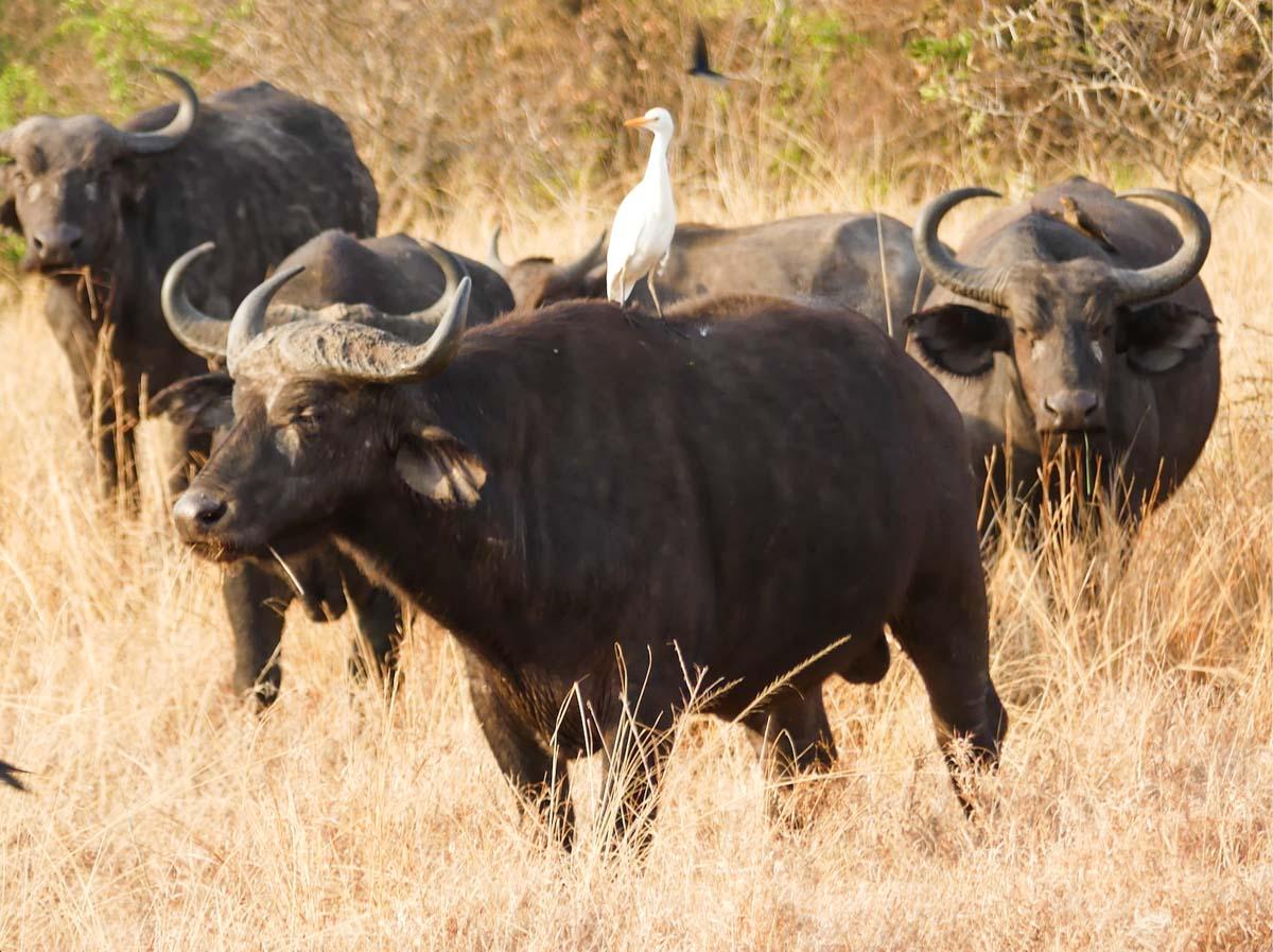 Safari dans le Parc national Queen Elisabeth en Ouganda dans notre article Observation des gorilles de montagne en Ouganda à la Bwindi impenetrable forest #ouganda #gorille #singe #afrique #voyage #safari