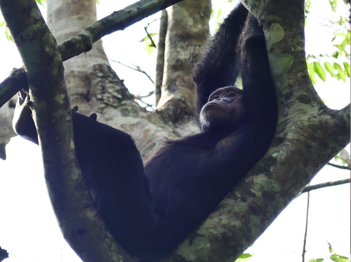 Observation des chimpanzés dans le Parc national de Kibale en Ouganda dans notre article Observation des gorilles de montagne en Ouganda à la Bwindi impenetrable forest #ouganda #gorille #singe #afrique #voyage #safari