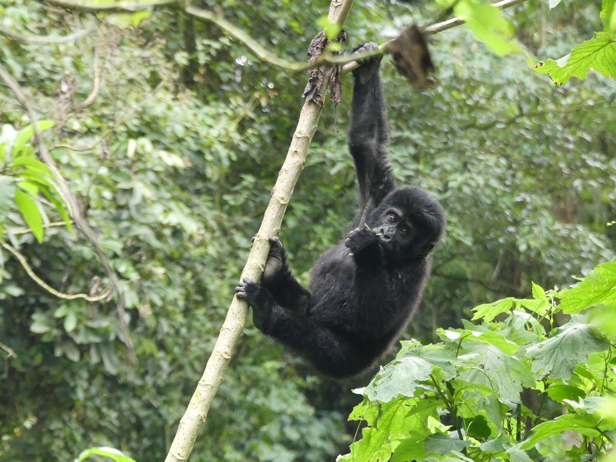 Gorille adolescent en Ouganda dans notre article Observation des gorilles de montagne en Ouganda à la Bwindi impenetrable forest #ouganda #gorille #singe #afrique #voyage #safari