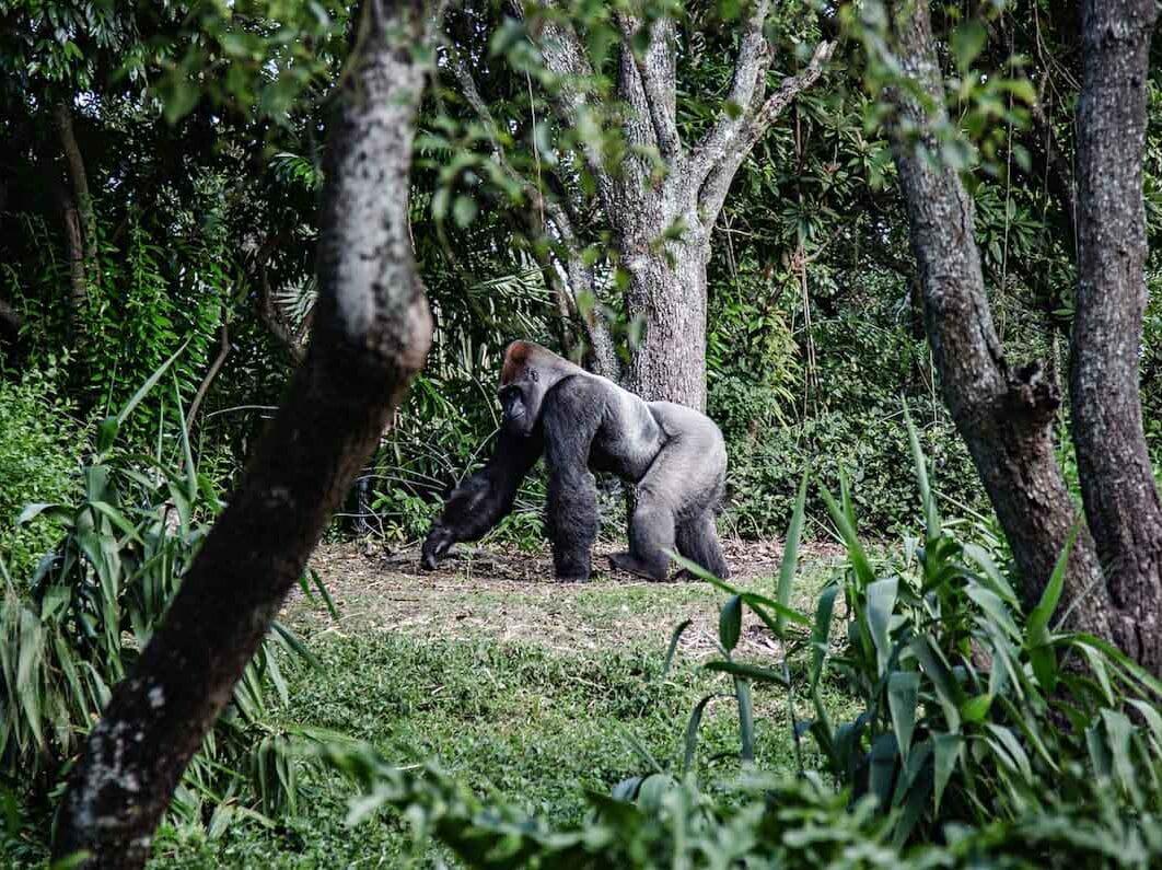 Gorille mâle alpha, silverback, en Ouganda dans notre article Observation des gorilles de montagne en Ouganda à la Bwindi impenetrable forest #ouganda #gorille #singe #afrique #voyage #safari
