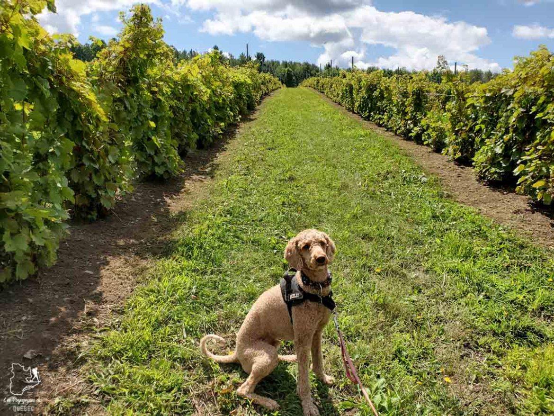 Visite du vignoble de l'Orpailleurà Dunham avec mon chien dans notre article Quoi faire en Estrie avec son chien : mon itinéraire pour visiter l'Estrie avec Pitou #estrie #cantonsdelest #quebec #bonjourquebec #canada #chien #roadtrip