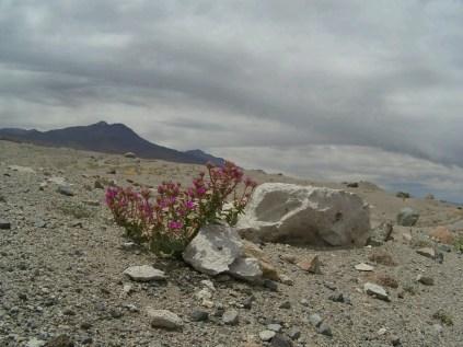 Une fleur du désert