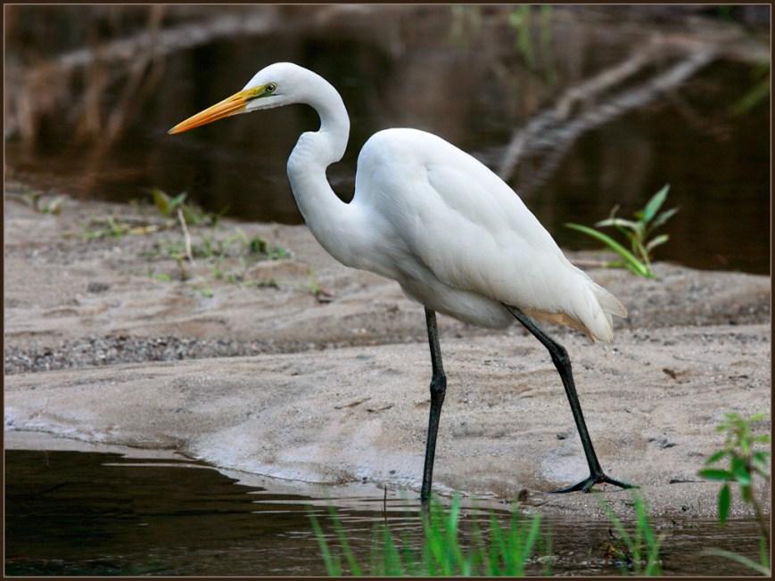 Great-Egret-Fishing