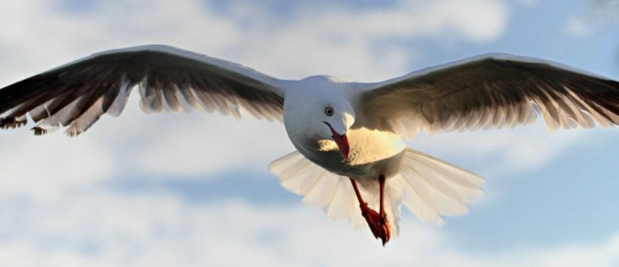 Gull-Flight