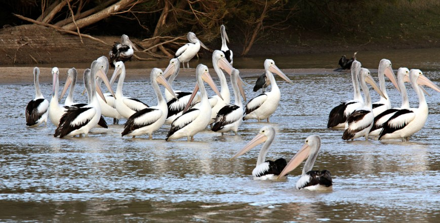 Pelicans-taking-a-bath