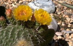 yellow1cactus