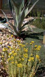 yellow3succulent