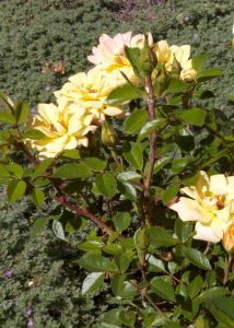 yellow6minirose