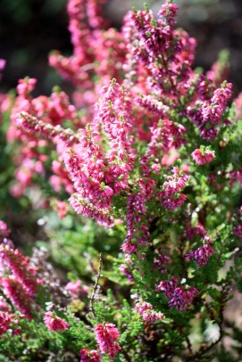 Late blooming heather