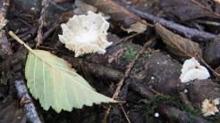 Delicate fungus
