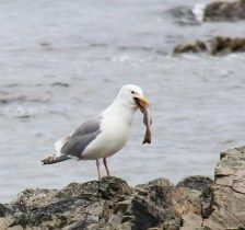 A gull at lunch!