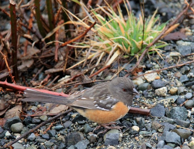 Spotted Towhee on he path!