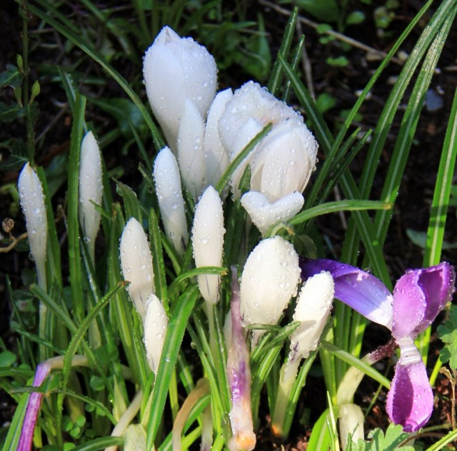 The rain poured down all night and first thing in the morning the skies cleared - Crocus's at Morrel Sanctuary.  Rain Dappled.