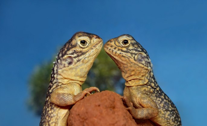 Two lizards face one another over a rock, representing the reptilian brain that is easily triggered into survival strategies.