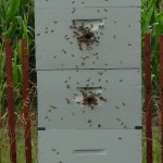 Example of bees using 1 inch holes.