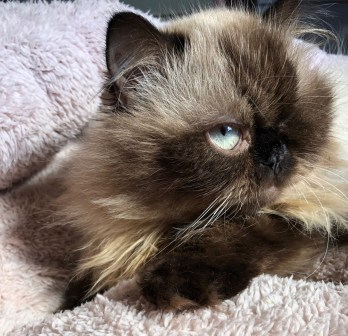 Persian cat, green eyes, green eye cat, one eye cat,one eyed cat,kitty,himalayan cat,favorite foods, fav food, foodie, blogger, blogging, 50 questions, tag, 50 questions tag, questions tag, about me, fun tag, tag for blog, blogging tag, beauty blog, makeup artist, makeupbyade, miami makeup, ade castaneda, makeup by ade, let me glaze you up