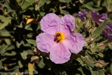 Roselha-grande (Cistus albidus)
