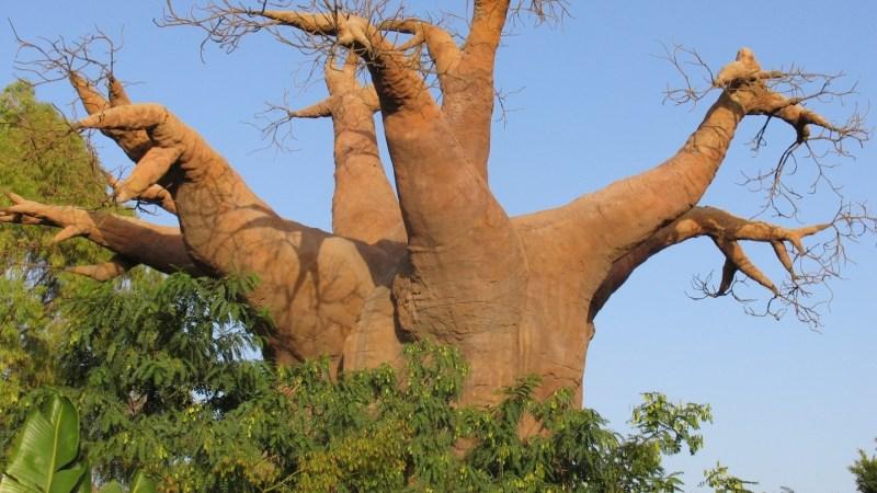 Los baobabs de Senegal y El Principito | Letra Urbana