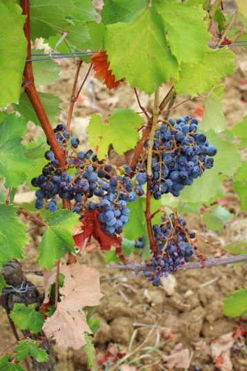 Grapes on the vine at a vineyard in Tuscany Italy