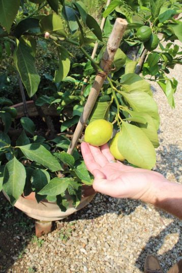 Lemon growing at Villa Calcinaia Winery in Tuscany Italy