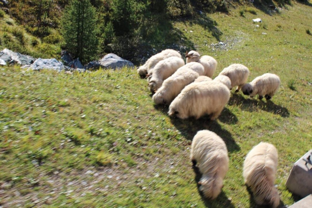 Black nosed sheep in Zermatt Switzerland