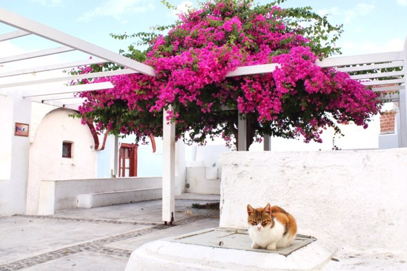 Cat sitting out on a ledge in Oia Santorini