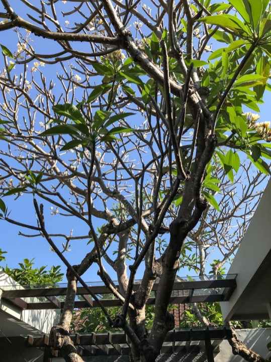 Plumeria tree at The Amala resort Seminyak Bali