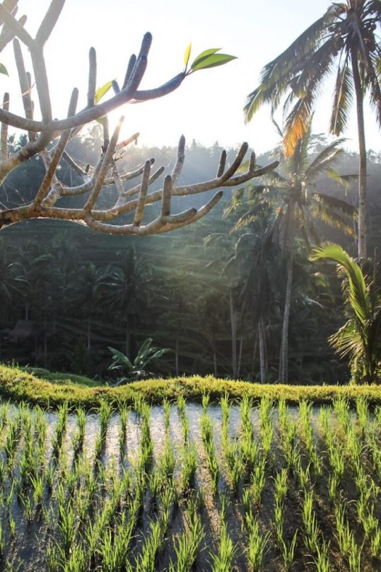 sunlight coming through the trees Tegalalang Rice Terraces Ubud Bali