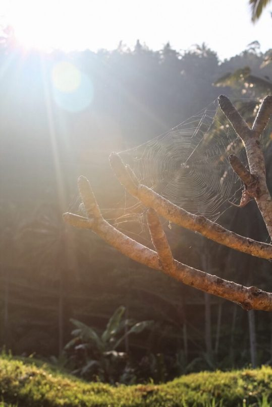 Spider web in front of the sunlight Tegalalang Rice Terraces Ubud Bali